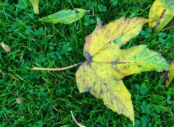 autumn leaves for leaf mould
