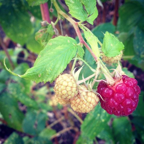 Raspberries in november