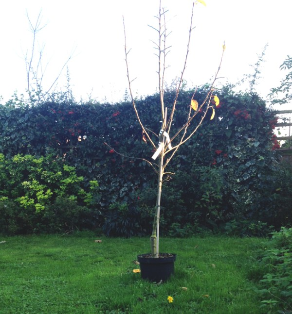 Dormant tree ready for planting
