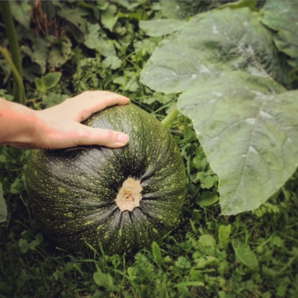 Knucklehead pumpkin growing in September