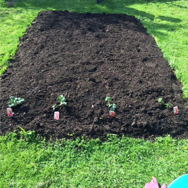 strawberries in a no-dig bed