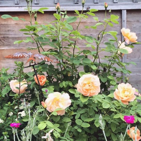 Lark Ascending rose bush