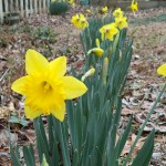 Daffodils in my yard.