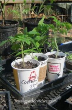 Costoluto genovese plants that were started from seeds indoors are nearly large enough to be planted in the garden.