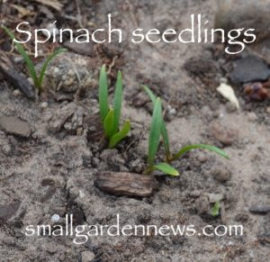 Seed leaves of spinach are dark green, long and narrow.