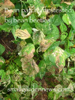 Mexican bean beetles have stripped green tissue from most of leaves in this bean patch.