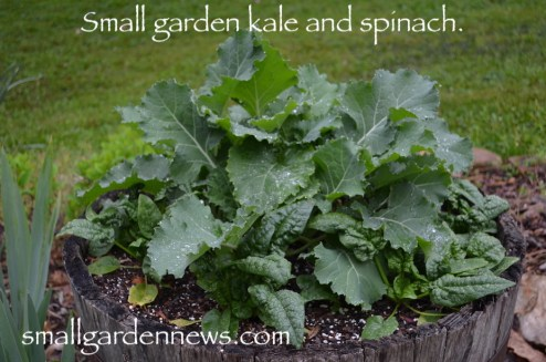 Half-barrel planted with kale and spinach, organically grown.