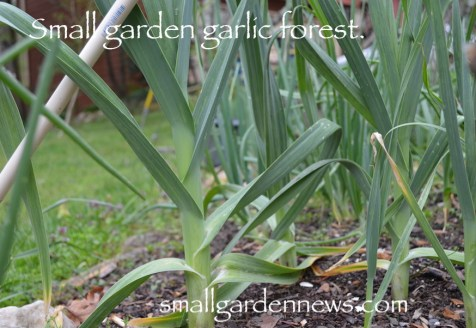 Organically grown garlic, planted in fall, as seen in spring.