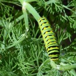 One of several caterpillars in the garden, eating the dill.