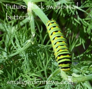 Caterpillars in the garden are not always a problem. This one will be a black swallowtail butterfly.
