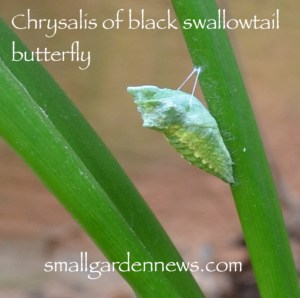 Chrysalis of black swallowtail butterfly from 10May2018, in Georgia.