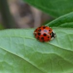 Ladybugs in the Garden – Which Ones Are They?