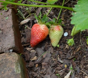 The sequence of ripening fruit in my Southern yard begins with strawberries.