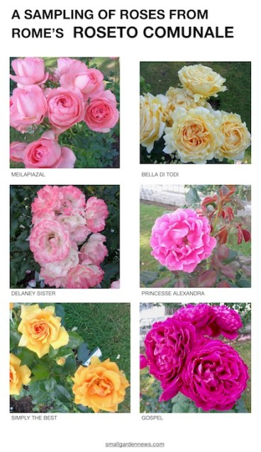 Some roses that are in Rome's Roseto Comunale.