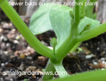 Flower buds forming on young 'Astia' zucchini plant.