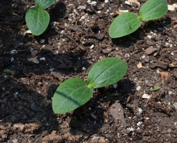 Seedlings of 'Astia' zucchini for containers, coming up in my half-barrel planter.