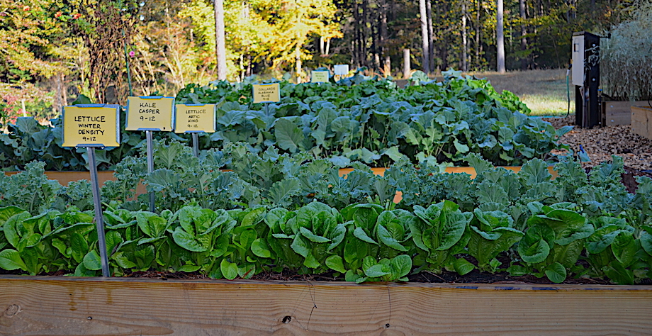 Fall crops at Plant a Row for the Hungry Garden, well-grown and ready for harvest.