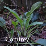 Comfrey can be divided and transplanted in spring through fall in the South.