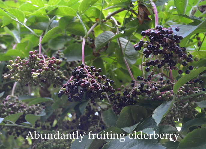 An abundantly fruiting elderberry, near Montepulciano, Tuscany.