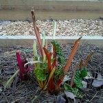 Deer ate the top of this Swiss chard plant in the garden.