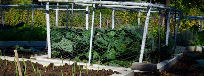 Wire fencing on PVC frame, built to fit the garden exactly, protects crops from deer.