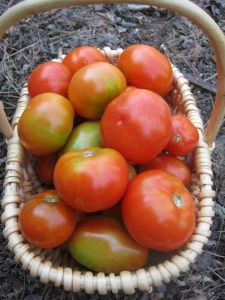 A day's harvest of tomatoes, indeterminate and semi-determinate types.