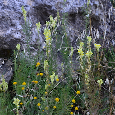 Toadflax, genus Linaria, has slender light green leaves all along the main stem. Yellow flowers are crowded at the top of the plant.
