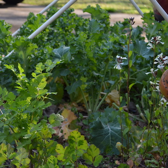 Small garden patch with cilantro on the left, white flowers of rocket on the right, and dwarf kale growing in the background.