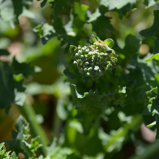 Cluster of flower buds at tip of kale plant in the garden.