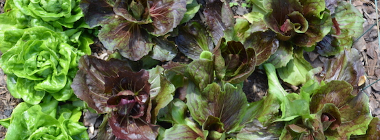 Pale green lettuces and dark red radicchio plants growing together in a garden bed.