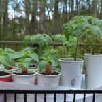 Tomato and pepper plants growing in fast-food cups, set in a tray.