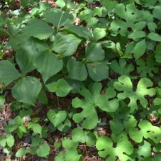 Leaves of bloodroot shaped like fat hands, and trillium plants that have only three leaves that attach at the top of a single stem.