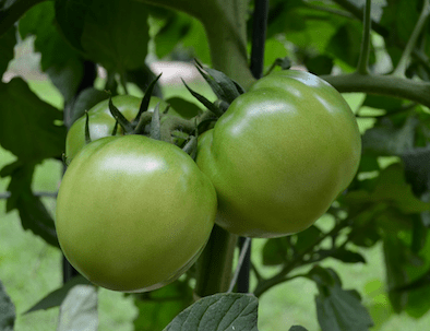 Cluster of three immature, green tomatoes attached to a plant.