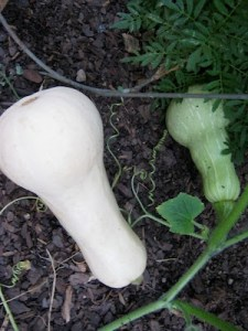 One mature, buff-colored butternut squash and one green, immature butternut squash, growing next to each other on a vine.