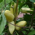 Group of pale yellow sweet peppers, variety 'Feherezon', growing on a plant.
