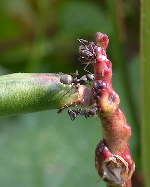 Three black ants at tip of pea stem