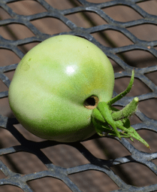 green tomato with hole near stem
