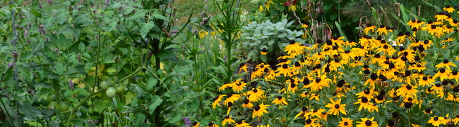 Tomato plant and yellow flowers