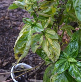Yellowed mottled leaves of basil plant in August