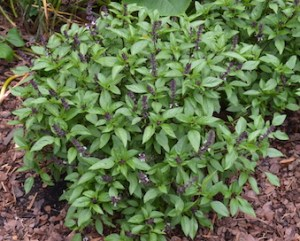 Glove-shaped Thai basil plant with green leaves and purple flower spikes