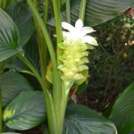 White tropical flower amid large green leaves