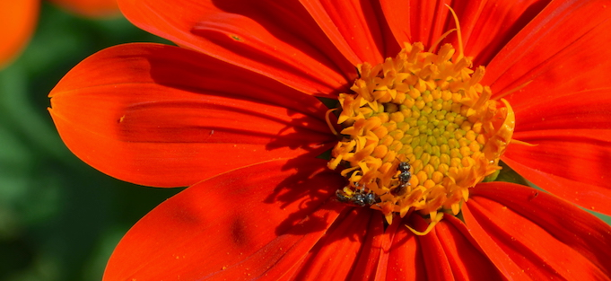 Two tiny bees in the yellow center of a red-petaled zinnia flower