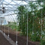 Tomato plants growing up strings in a high tunnel