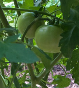 Two green tomatoes on a tomato plant; the variety is 'Winterkeeper', known for the long shelf-life of its tomatoes in fall.