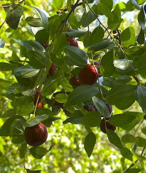 Round, red jujube fruits on tree, with dark green leaves.