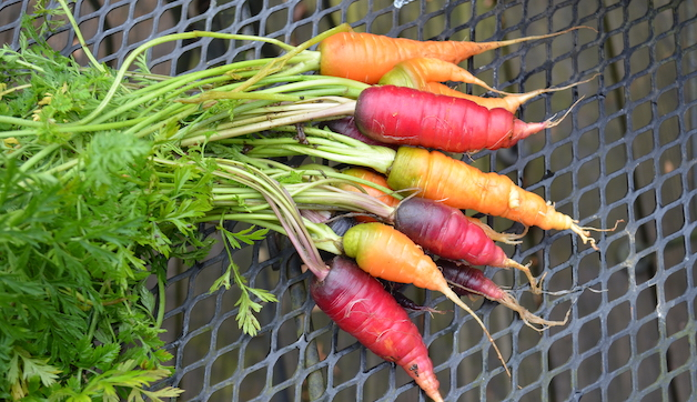 Bunch of garden carrots in shades of red, orange, and purple, with green leaves still attached.