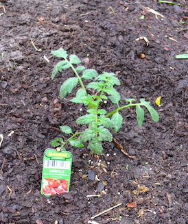 newly planted small tomato plant with label poked into the ground beside it, showing that this purchased plant is the variety 'Creole' and grown by Bonnie Plants.