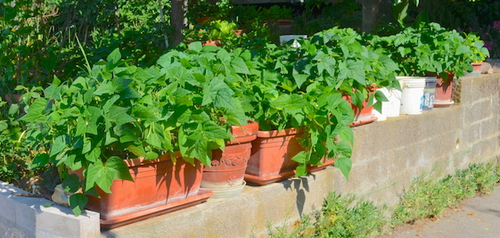 Bush bean plants growing in containers, lined up on a concrete-block wall