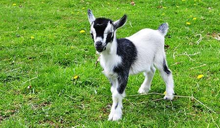 goat feeding guide the