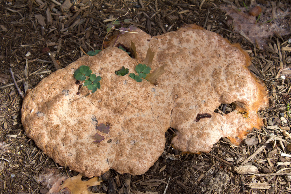 How To Get Rid Of Dog Vomit Slime Mold